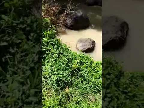 """Bali jungle dewata/..Mengangkut monster ileng"""" (mangsian) …dari tepian sungai."""